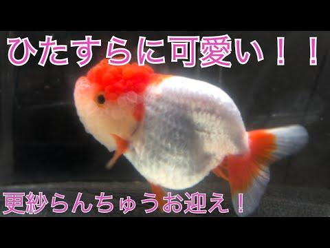 なんて可愛さ…(更紗らんちゅう)!! 〜金魚お迎え!〜