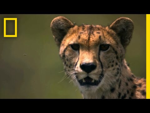 Cheetah | Big Cats Love thumbnail