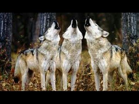 Paws by Claws ep.12! #kristina kashytska #wolf toys