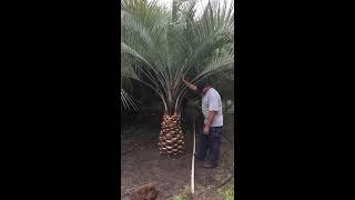 Pindo Palm Diamond Cut
