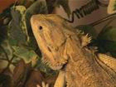 How To Care For Bearded Dragons