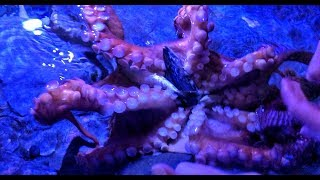 Playing with a Giant Pacific Octopus at Aquarium of the Pacific! OctoNation- Octopus Fan Club