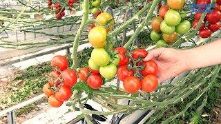Hofblick - Tomatenanbau