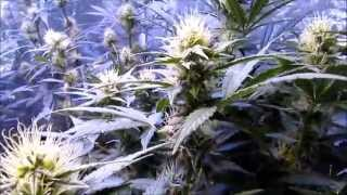 Growing Cannabis With Mars Hydro LED