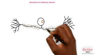 Basic Sciences - Structure of a Sensory neuron