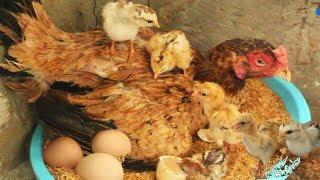 "Hen Harvesting Eggs to Chicks New ""BORN"" Amazing Smallest Birds (Fish Cutting)"