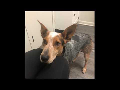Patsy, an adoptable Australian Cattle Dog / Blue Heeler in Southampton, PA