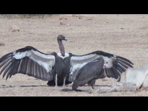 BIRDS OF THE INDIAN THAR DESERT