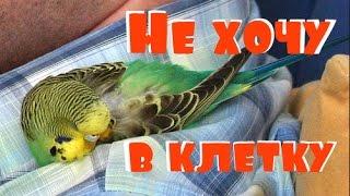 Как мои попугаи спать ложатся. Как загнать попугая в клетку
