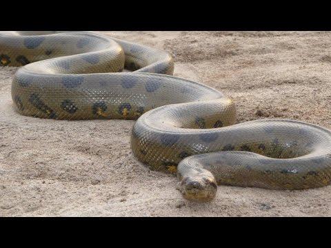 Documentario National Geographic Italia, Nelle Fauci Dell'Anaconda
