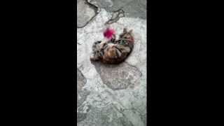 Kitten playing with a shuttlecock