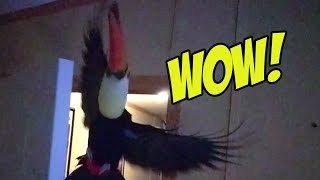 Toucan does an epic flying maneuver in slow mo!