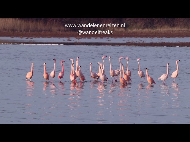 Flamingo Balts Grevelingen