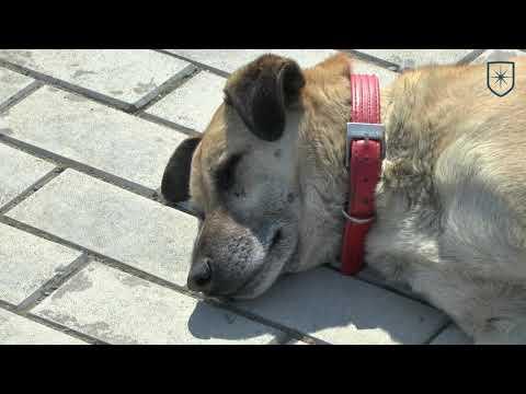 Лечение и профилактика пироплазмоза у собак