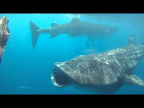 Swimming with whale shark near Isla Holbox, Mexico