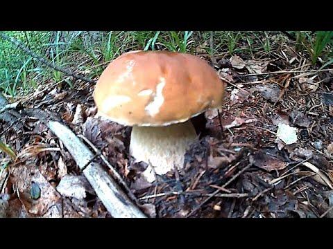 Красиві Білі Гриби сезон 2020 \ Beautiful White Mushrooms season 2020