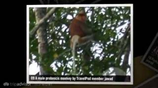 preview picture of video 'Proboscis monkeys Jawad's photos around Bandar Seri Begawan, Brunei (proboscis monkey brunei)'