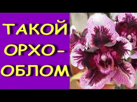 Вот ТАКОЙ орхо-ОБЛОМ! :((