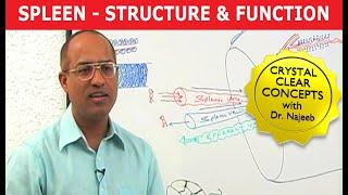 Spleen - Structure & Function