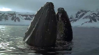 Whales And Seals Feast On Krill | Blue Planet | BBC Earth