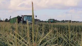 Sweet Corn Harvest South Florida - Belt Line Machine