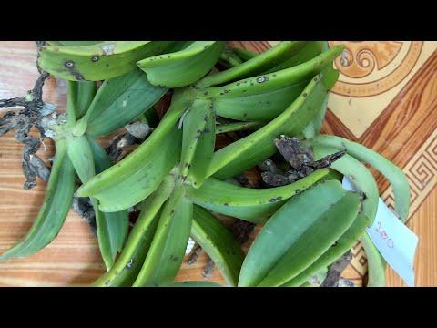 Hoa lan rừng 1/9 phi điệp kiến, châu kiến bảm đôn, cáo thuần,hàng hoa chơi tết...