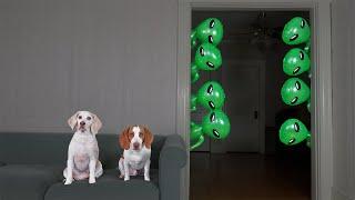 Dogs vs Mini Aliens Prank!: Funny Dog Maymo & Potpie Pranked by Alien Invasion