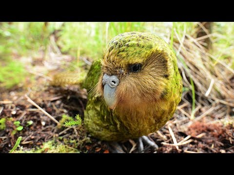 Search for Sirocco (2018) - Two years ago Sirocco, the world's most famous kakapo, went missing. Here's how New Zealand's kakapo rangers found him again.