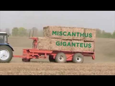 Green Biomass Energy - About our progress in upscaling Miscanthus