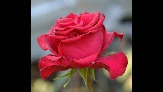 Роза Лавли Ред Lovely Red чайно гибридные