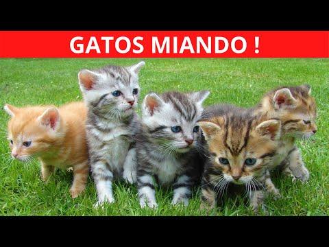 GATO MIANDO   Som de Gato  GATOS