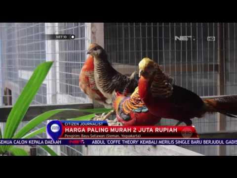 Video Bisnis Ayam Pheasant - NET 10
