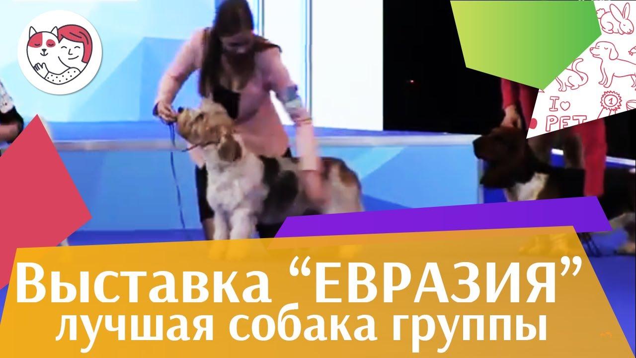 Лучшая собака 6 группы по классификации FCI 18 марта на Евразии 17 ilikepet