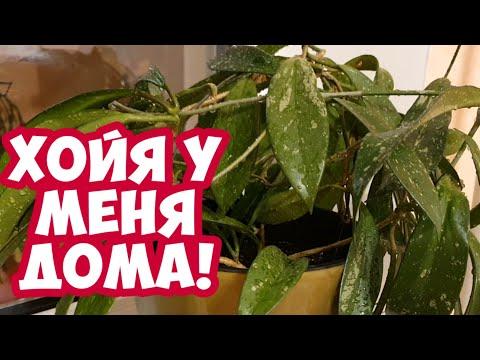 Как ухаживать за Цветами//Хойя или Восковой Плющ//Мои Комнатные Растения