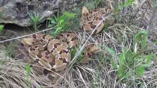 Field Herping the Midwest: Episode 2 - Wisconsin Timber Rattlesnake (Crotalus horridus)