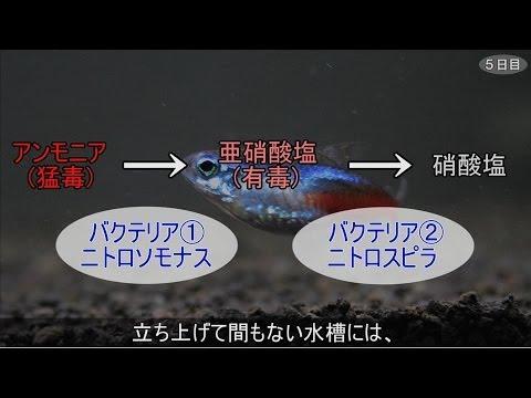 えび水槽 ②水槽立ち上げ バクテリア繁殖