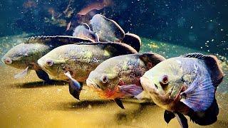 MY OSCAR AQUARIUM - Oscar fish SHOAL!! The king of DIY