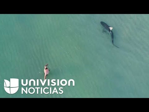 Un dron capta un tiburón nadando tranquilamente entre bañistas en la playa de Miami Beach