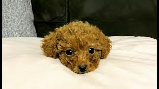 Cutest Toy Poodle Puppies Video Compilation