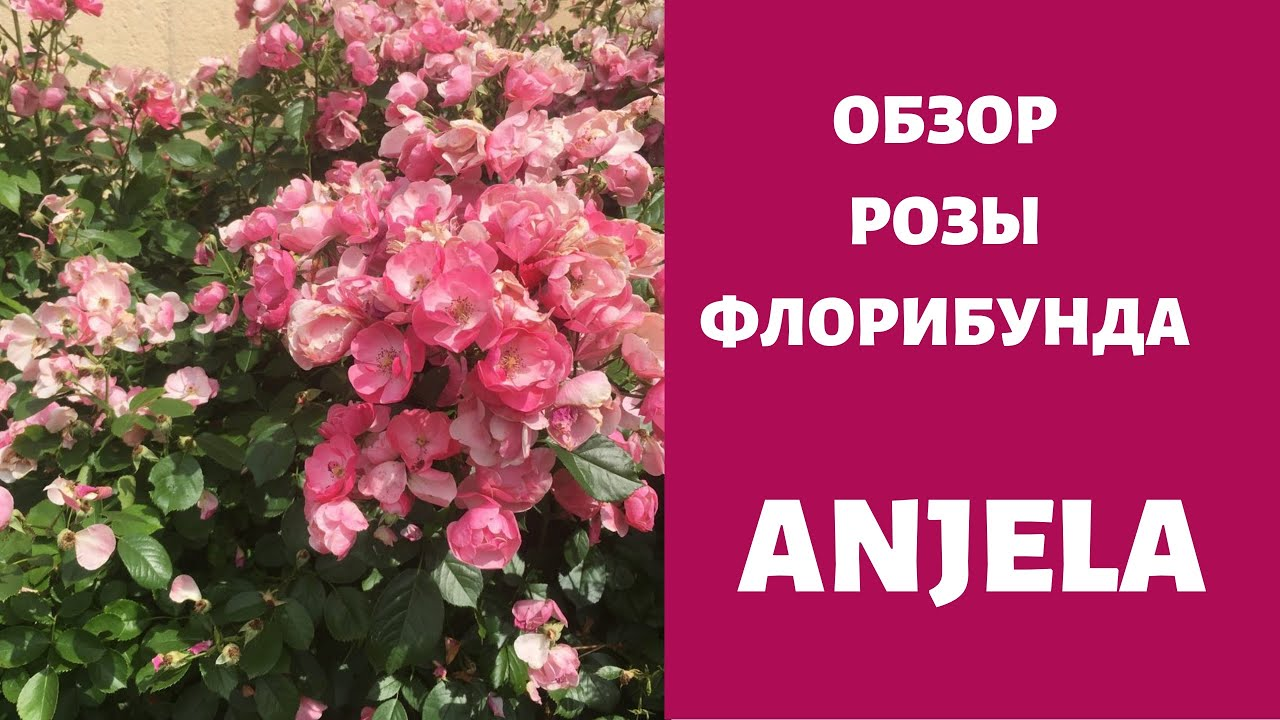 Роза Angela Обзор чуда !!!Лучшая роза в саду !!!
