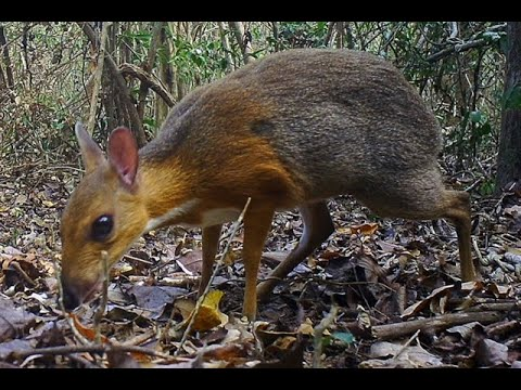 Deer thought to be extinct discovered in Viet Nam