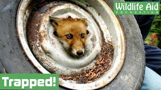 Fox cub gets head stuck in a wheel!