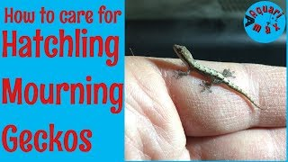 How to Care for Hatchling Mourning Geckos