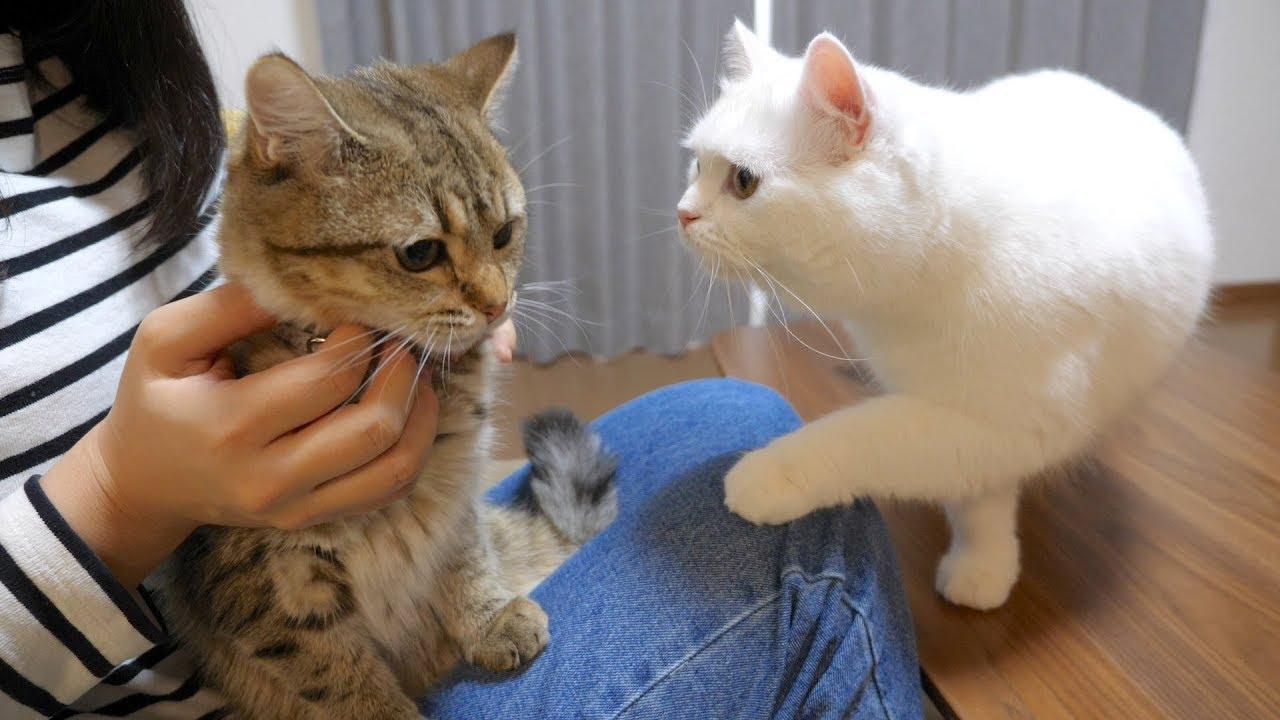 初めて首輪をする子猫が心配でたまらない先輩猫! #猫 #cat #子猫 #首輪 #先輩