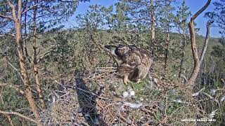 First time Golden Eagle mother in Latvia
