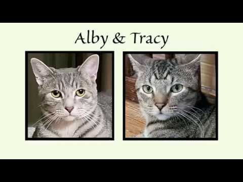 Alby, an adoptable Domestic Short Hair in South Ozone Park, NY