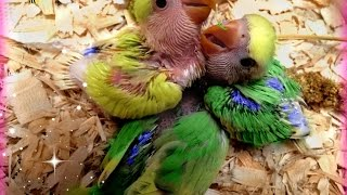 How to hand feed baby lovebirds.