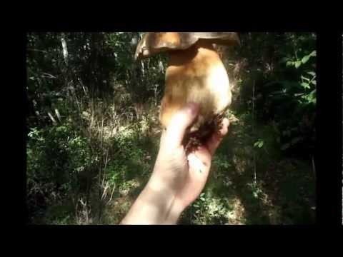 Unguenti di cavallo da un fungo