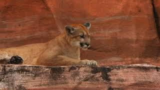 Animal Antidotes: Cougar