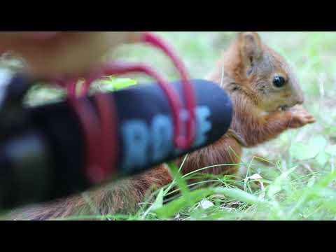 Zoologist put a microphone in front of a 7 week old baby red squirrel
